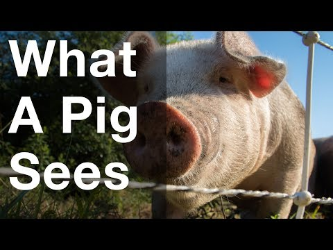 What a Pig Sees
