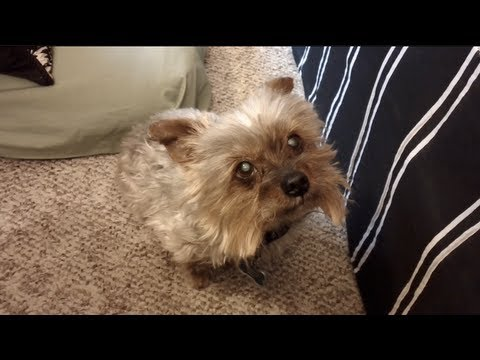 Yorkie Hears Haircut And Hides Under Bed Youtube