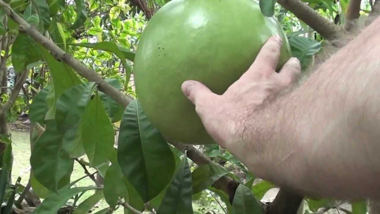 Questions about Fruit in the Philippines (or tropics ...