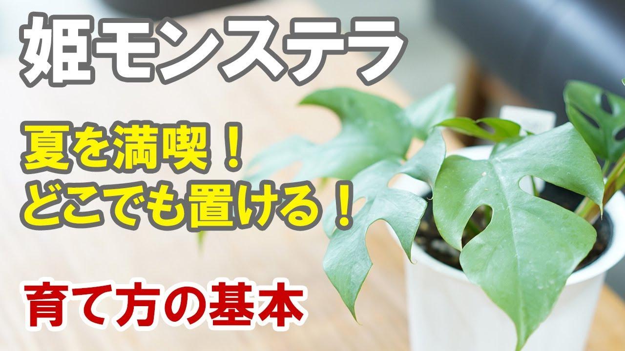 姫モンステラの育て方 基本を守ればとても簡単!植え替えは根の量で判断!