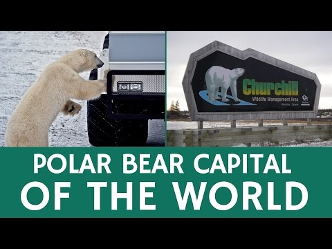 Polar Bear Capital of the World Open for Tourists – Churchill, Canada