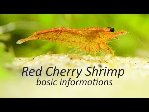 How to take care of Red Cherry Shrimp | Basic Informations