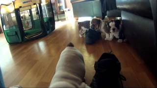 English Bull Dog Puppies 6 Weeks  Old