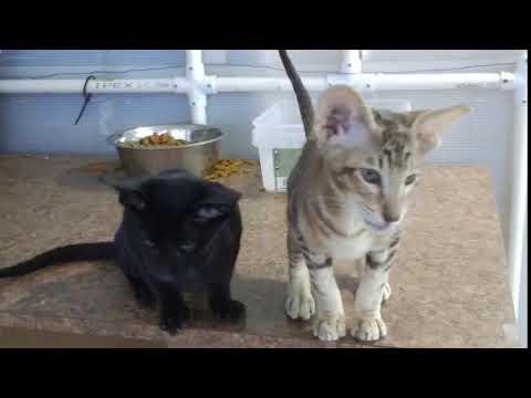 Available Oriental Kittens December 2017