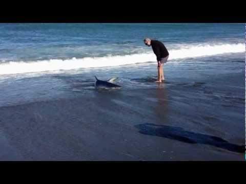 Blue shark stranded after chasing fish