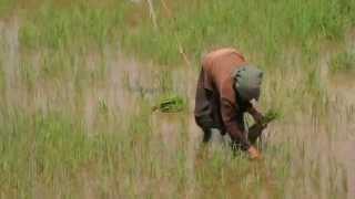 Vietnam ~ Rice Harvest ~ Pull & Spread