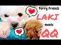 DOG LOVE! LAKI Meets QQ (Bichon Dog & Teacup Toy Teddy Poodle!) 可爱! 比熊遇见泰迪贵宾!  かわいい犬 犬の愛