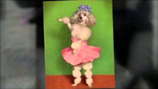 Fun Dog Facts - The Poodle!