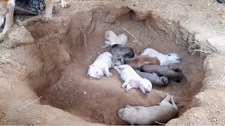 Day 2 feeding poor mother dog and 9 puppies living in deep soil (EP02) Rescue family puppies