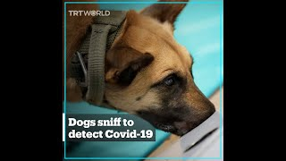 Can Sniffer Dogs Detect Covid-19?