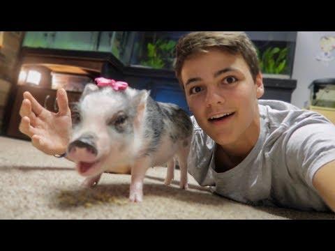 My NEW PET MINIATURE PIG!!