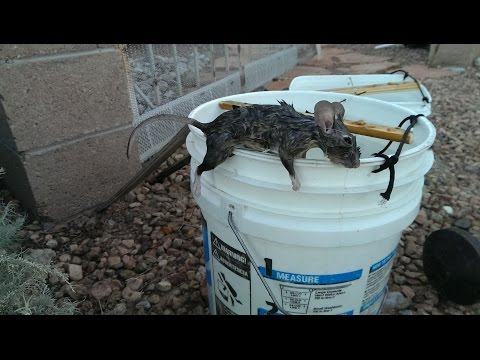 Thumbnail: Gotcha Ass! Mouse Rat Trap DIY Works Perfect Easy To Build !