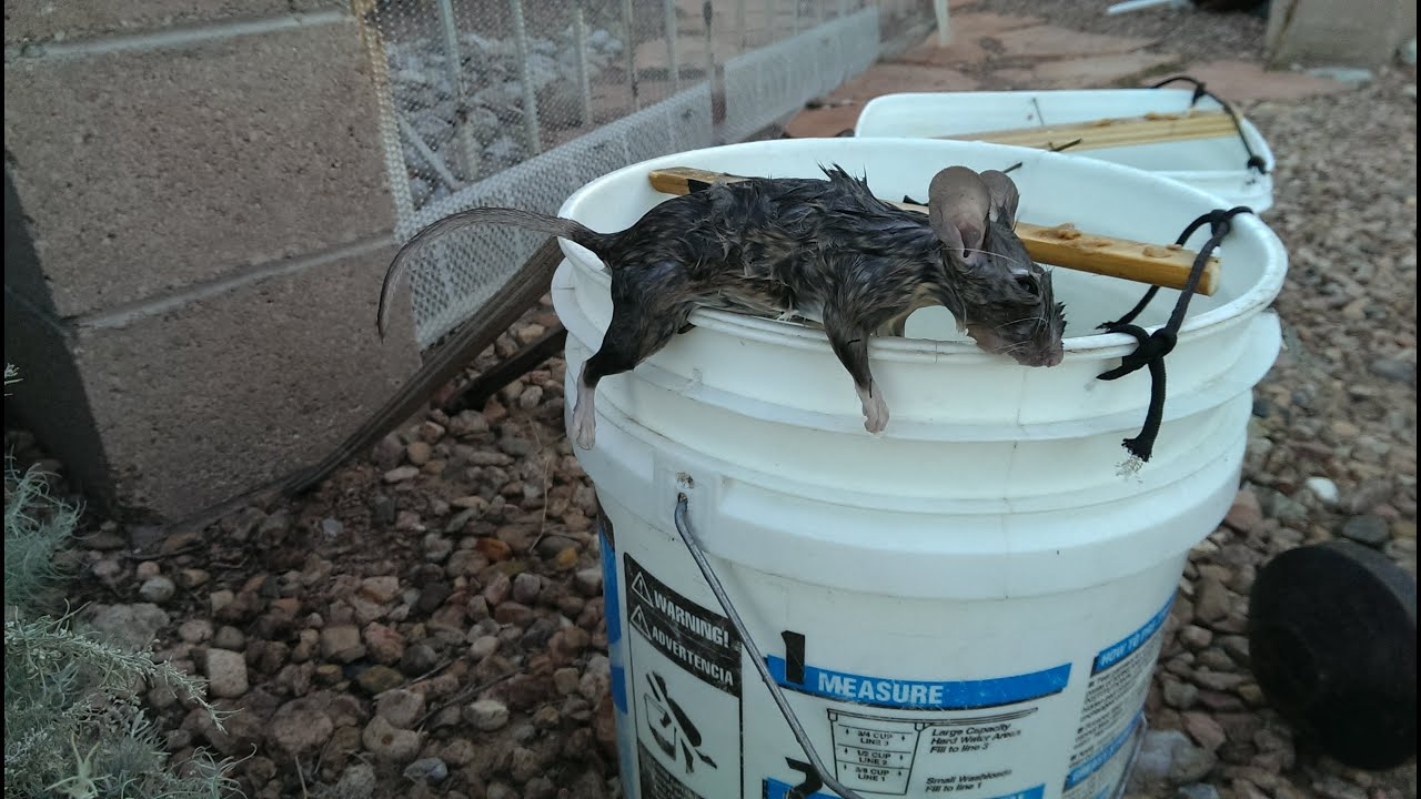 rat trap The original wood-based wire snap trap, the victor metal pedal rat trap provides  instant rodent control and is safe for home and business use trusted to control.