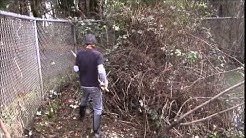 clearing blackberries the old fashioned way