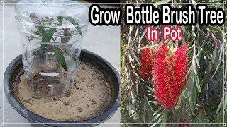 How To Grow Bottle Brush Tree from Cuttings -Best Technique | कैसे उगाये चील का पेड़ गमले में कलम से