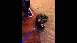 Cat Leash Training 101