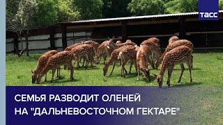"""Семья разводит оленей на """"дальневосточном гектаре"""""""