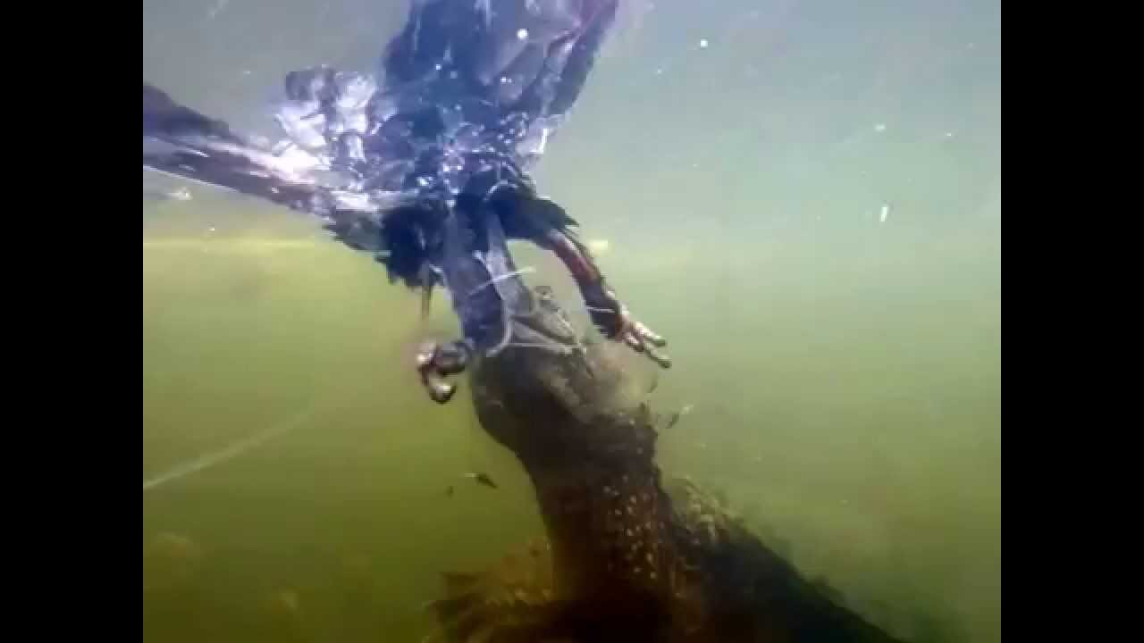 Snapping Turtle Eating Bird Underwater Youtube