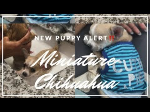 CollegeVlog | Getting our Brother Miniature Chihuahua's & Puppy Shopping!