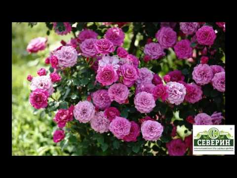 Классификация роз для начинающих цветоводов