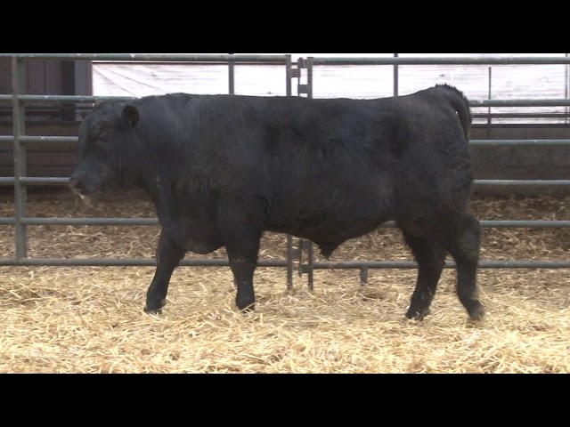 Schiefelbein Angus Farms Lot 274