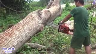 Xem bác thợ cưa cây cổ thụ Khổng Lồ - Sawn Timber Trees