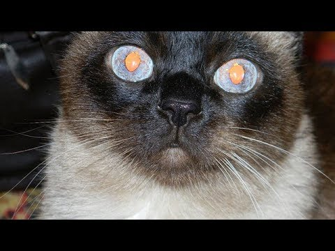 The funniest siamese cat hissing!!!!