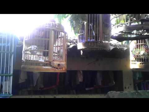 Chợ chim Họa mi Mường Khương