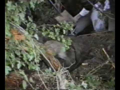 Déterrage Renard - Vénerie sous terre - Fox Hunting - Animal Cruelty
