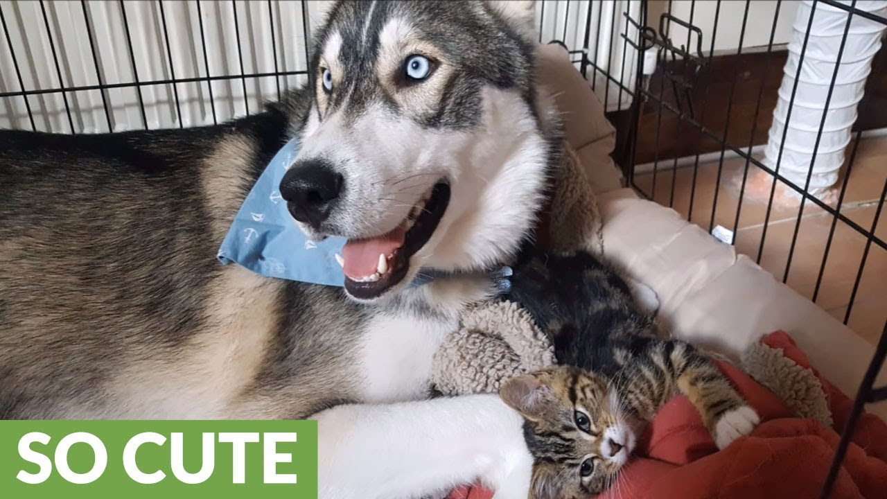 Anxious Husky Finds Companionship In Tiny Kitten Youtube