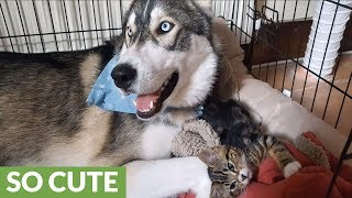 Anxious husky finds companionship in tiny kitten thumbnail