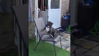 French Bulldog Lets Out Peculiar Barks || ViralHog