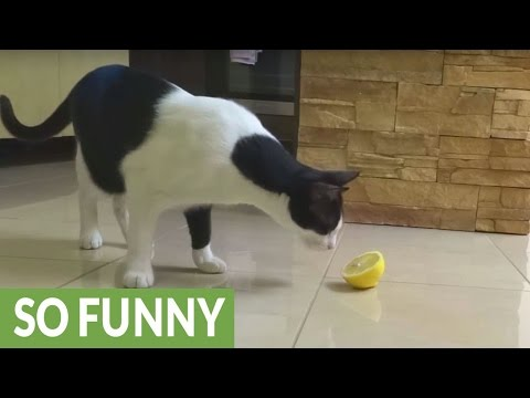 Cat hilariously confused by lemon slice