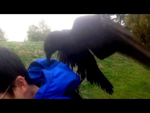 Scary encounter: B.C. man records his crazy crow attack