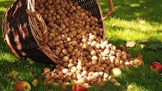 Как растет грецкий орех(Моя страница ВКонтакте: https://vk.com/brybak Мой сайт: http://brybak.ru/ В одном из моих давних видео у меня мелькал грецкий..., 2015-06-24T15:30:00.000Z)