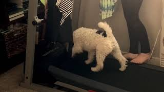 Wire Fox Terrier First Time on Treadmill