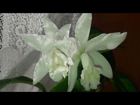#ОРХИДЕИ Ч.9. Орхидея каттлея. Удобрения. Как добиться цветения!!!