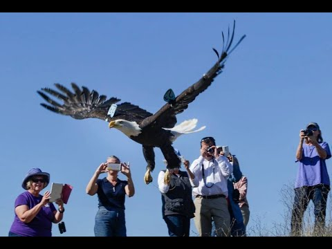Free Again: Bald Eagle Spreads Her Wings, Returns To The Central Coast Wild
