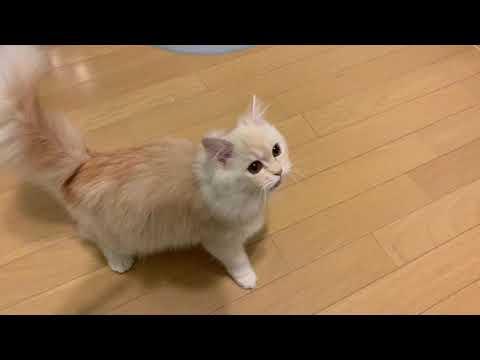 ご飯をおねだりするミヌエットの子猫。