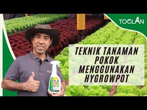 Tanaman Pokok Menggunakan Hygrowpot