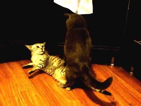 Кот задирает кошку
