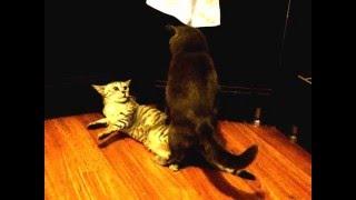 Вязка британца и шотландки. Кошка смешно задирает лапу)))