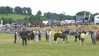 Merlod Cymreig o Deip Cob - Ebol | Welsh Ponies Cob Type - Foal