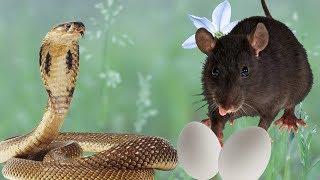 ЯЙЦА КОБРЫ и КРЫСА А при чём тут ОСЛИК Мультфильмы про животных для детей