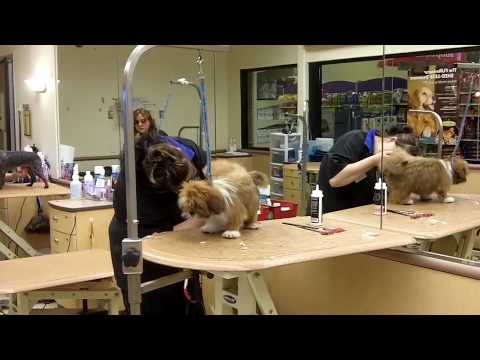 Lovely Lhasa Puppy Timmy Groomed At Petsmart Youtube
