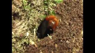 Big Bumble Bee (insect) in Sweet Chestnut (queen bombus lapidarius)