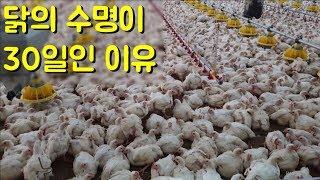 닭을 빨리 살찌우기 위해서 4시간에 한번씩 하는 일 [치킨의 일생] 1부