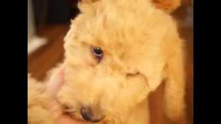 京都ラッキーファミリーのプードルたち 8月31日生まれのスタンダードプードルの...