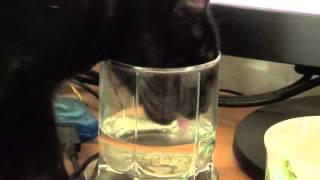 Кошка Бусинка пьет из стакана