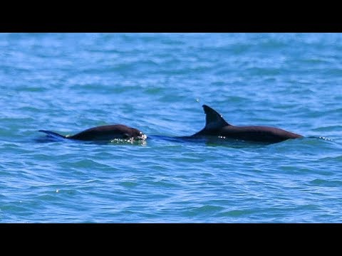 Endangered vaquita making a comeback in Mexico's Baja